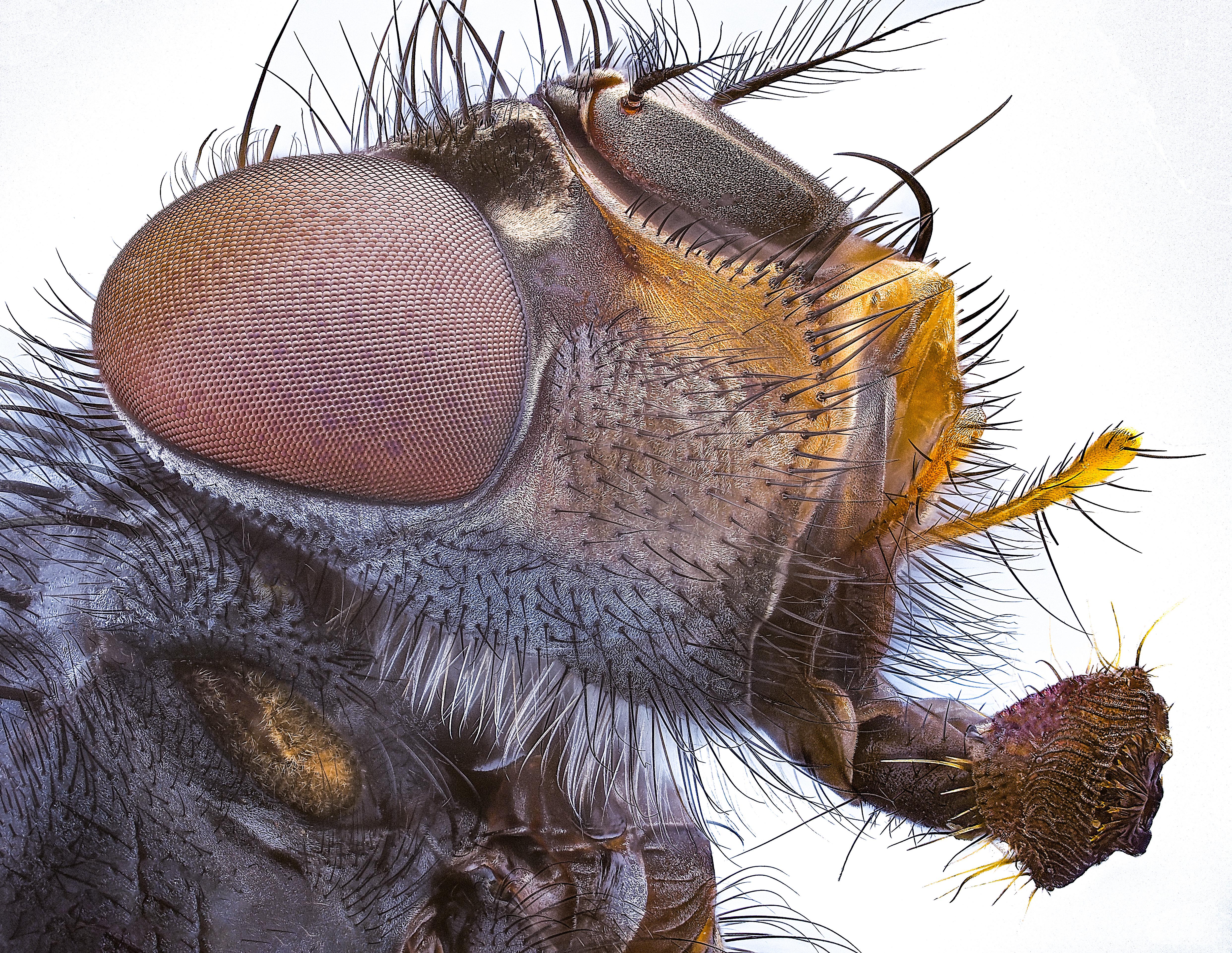 Forensische Fliege