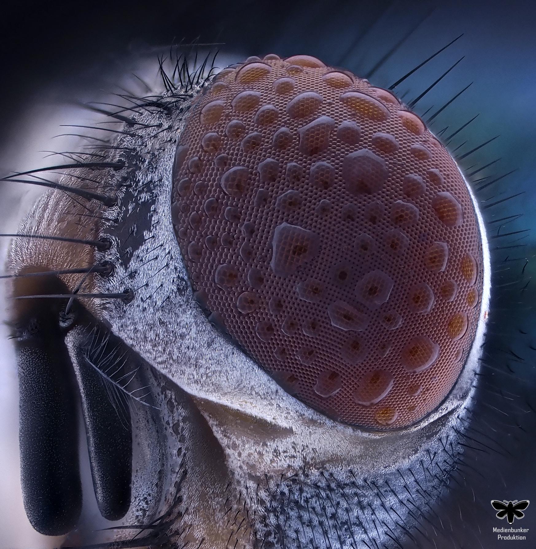 Auge einer Goldfliege + Tautropfen