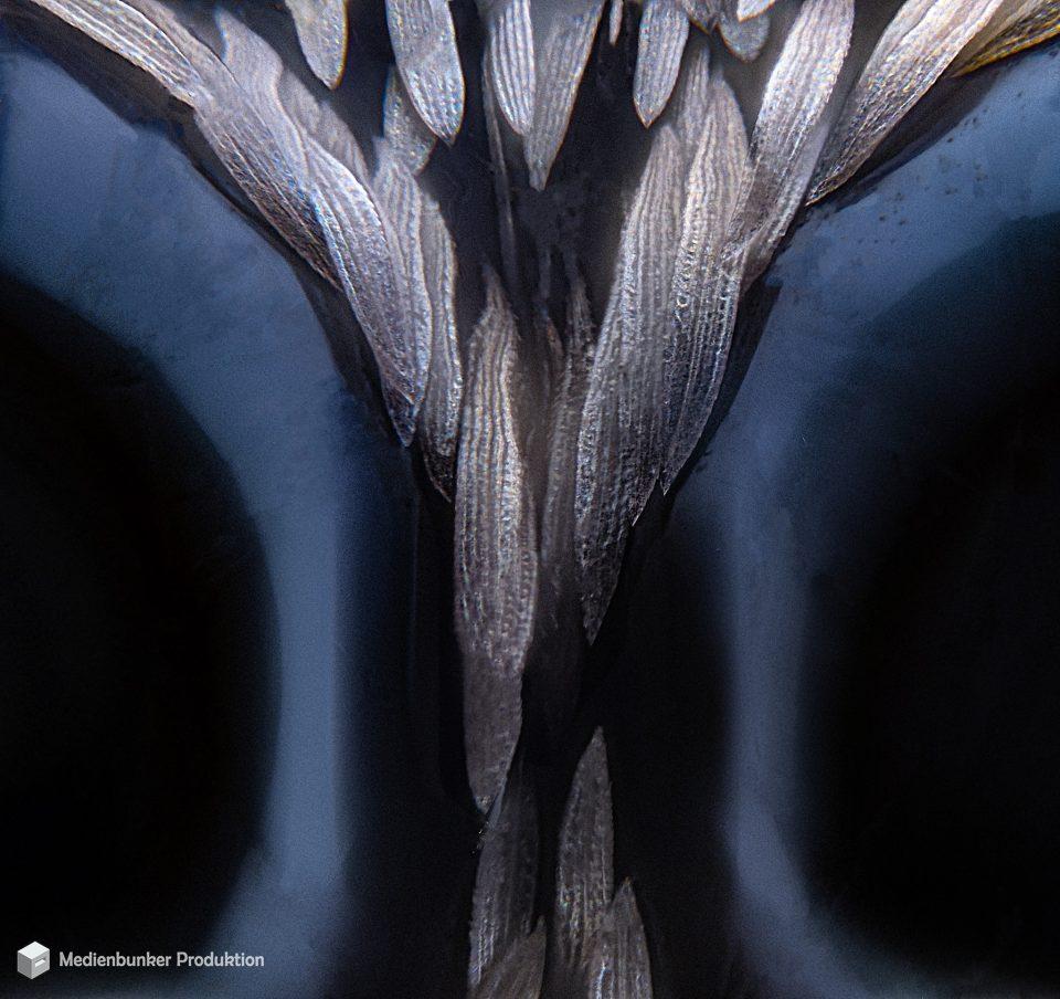 Zebraspringspinne (Salticus scenicus) @ 100X